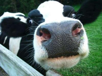 Подоить корову