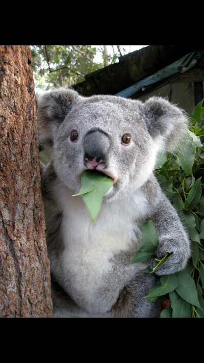 Побывать в Лоун Пайн Коала Парк в Австралии
