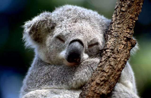 Подержать коалу