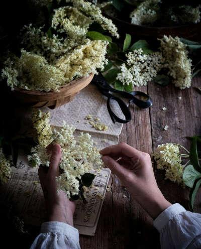 Собирать цветы бузины