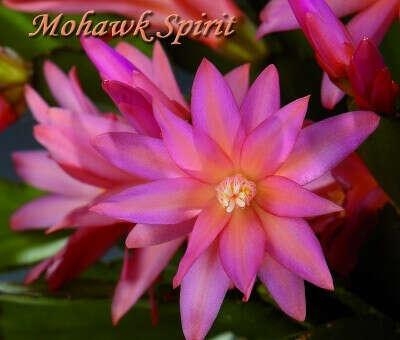 Rhipsalidopsis Mohawk Spirit