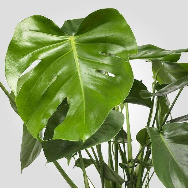 МОНСТЕРА Растение в горшке - Монстера деликатесная - IKEA