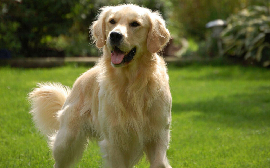Завести собаку (золотистый ретривер)