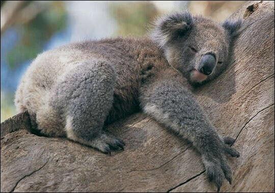 Потискать коалу