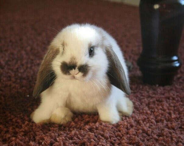 ХОЧУ Кролика