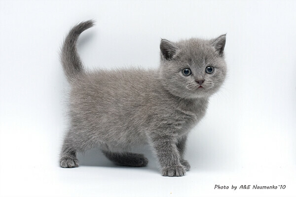 Британского котёнка