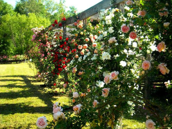 Пять кустов роз