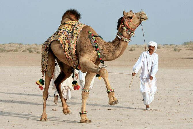 Потрогать верблюда