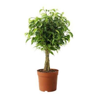 """FICUS BENJAMINA 'NATASJA' Растение в горшке, Фикус Бенджамина """"Наташа"""", 12 cm"""