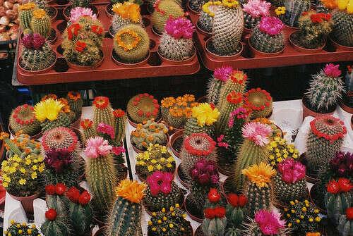 много красивых кактусов