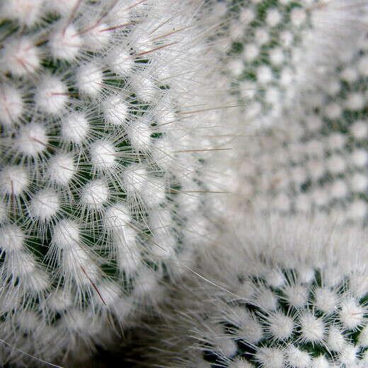Хочу мохнатый кактус