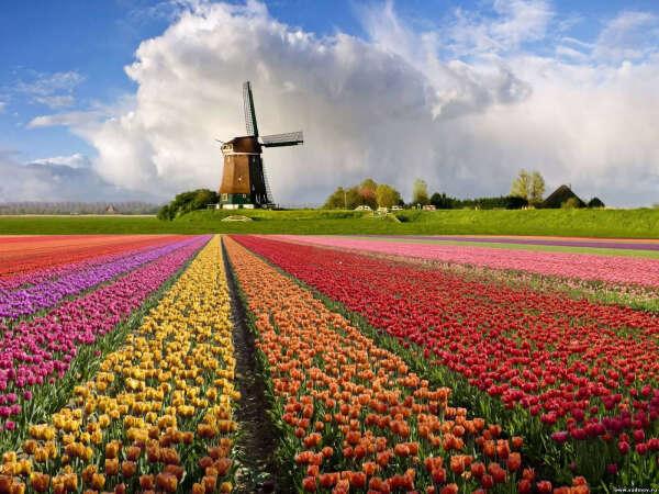 Любоваться тюльпанами в Голландии