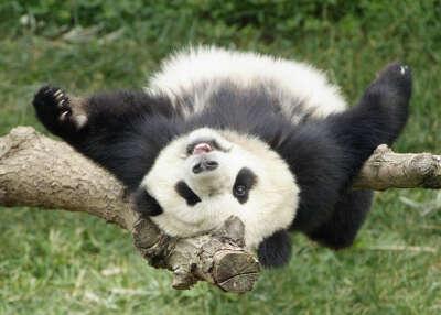 увидеть панду