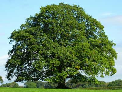 26. Посадить родовое дерево - дуб