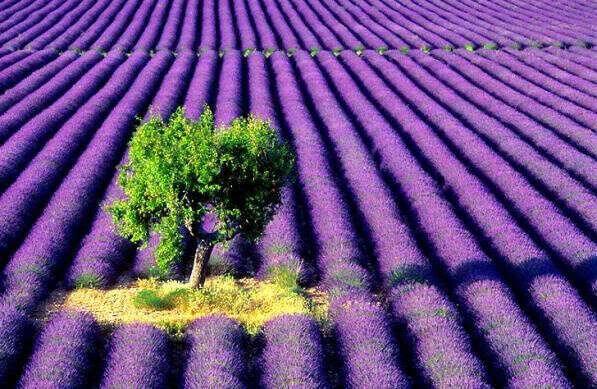 Побывать в Провансе на лавандовых полях