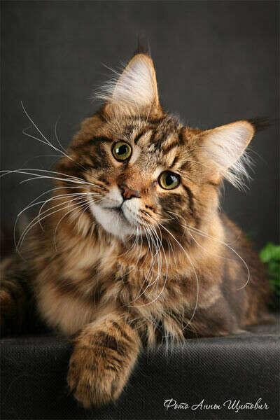 Пушистый и добрый котенок Мейн-кун.