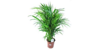 Комнатное растение, которое может выжить при низком освещении