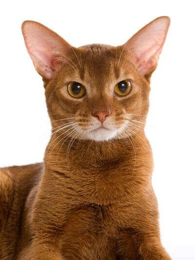 абессинского кота