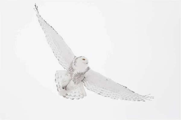 Увидеть белую полярную сову