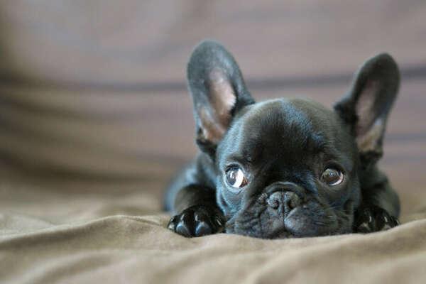 Собаку породы французский бульдог