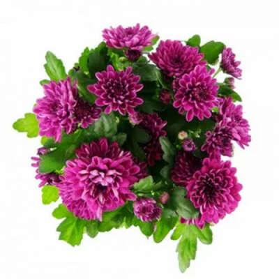 Хризантема махровая пурпурная