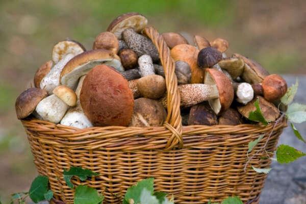 Собирать грибы в лесу