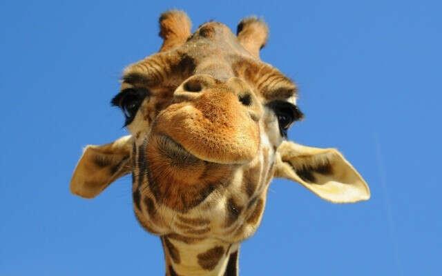 Хочу покормить жирафа