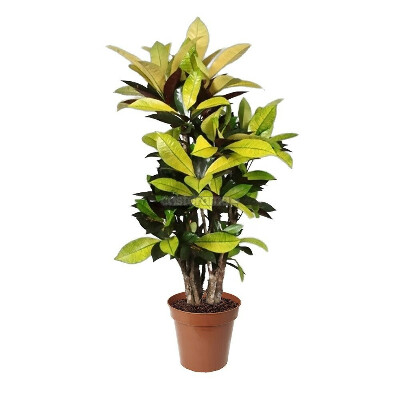 Комнатное растение Кодиум Айстон, 30 х 130 см