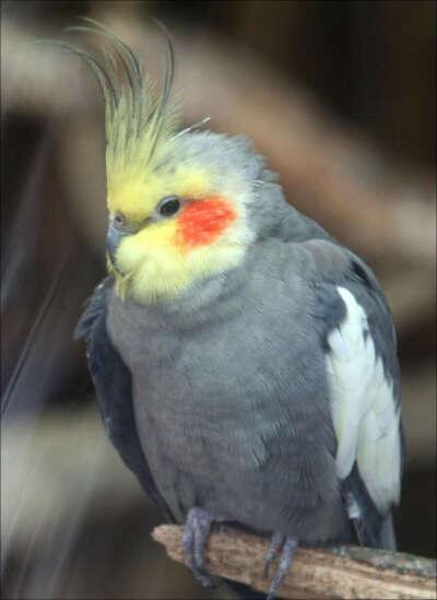 Попугай корела, неразлучники