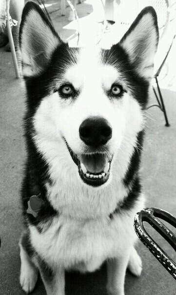 Хочу собаку,Хаски