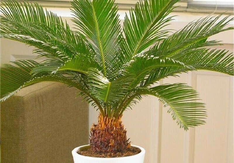 Цикас (комнатная финиковая пальма)