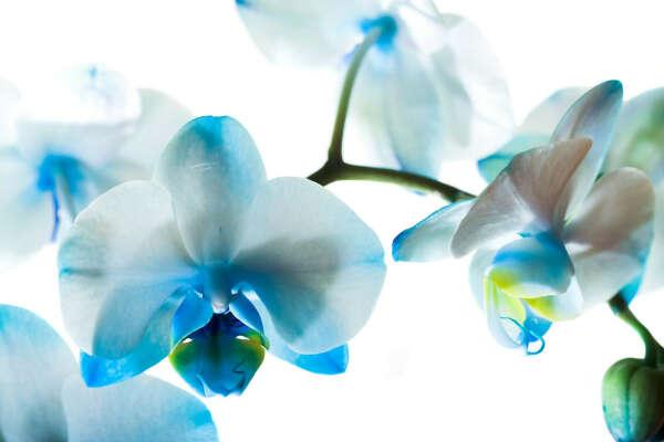 Голубую орхидею