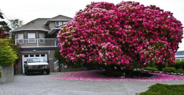 Дерево Рододендрон