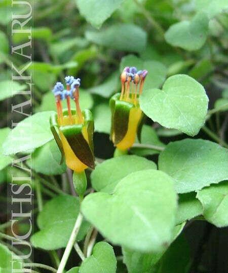 F.procumbens