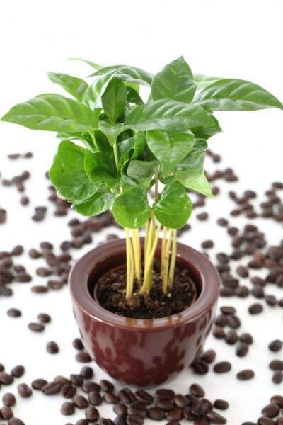 Кофе Арабико