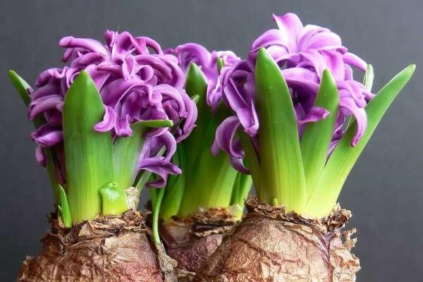 Луковицы первоцветов