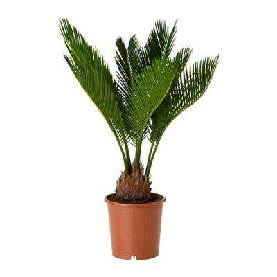 CYCAS REVOLUTA Растение в горшке - IKEA