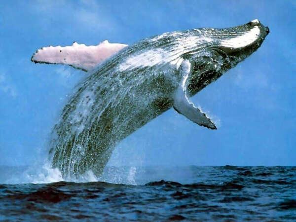 Увидеть синих китов