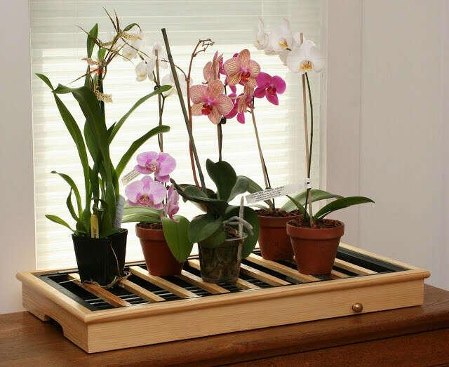 Домашнюю орхидею