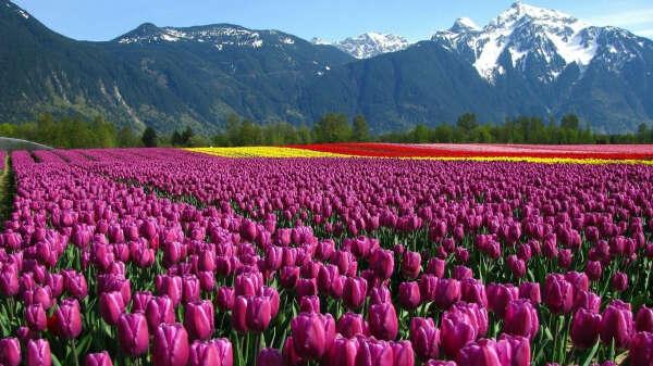 Фотосессия в поле тюльпанов, Амстердам весной, Нидерланды
