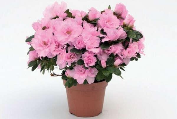домашний цветок в горшке (азалия)