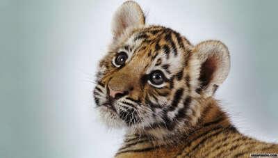 Потрогать тигра