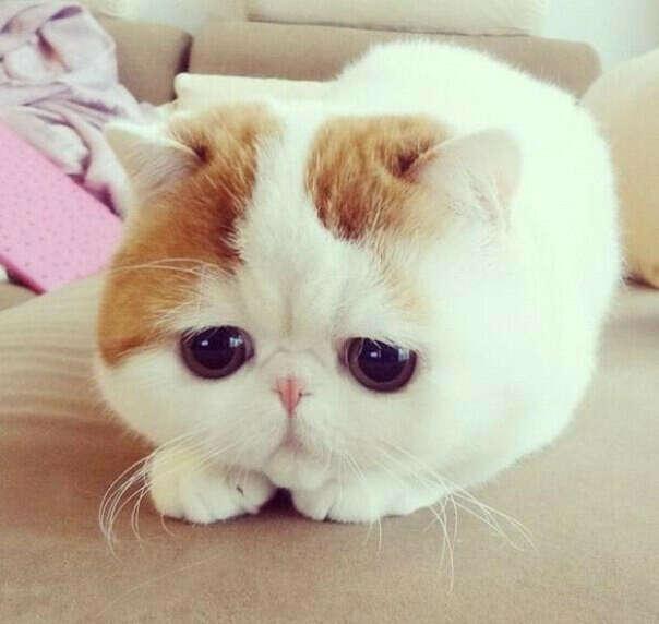 котенок породы Экзот