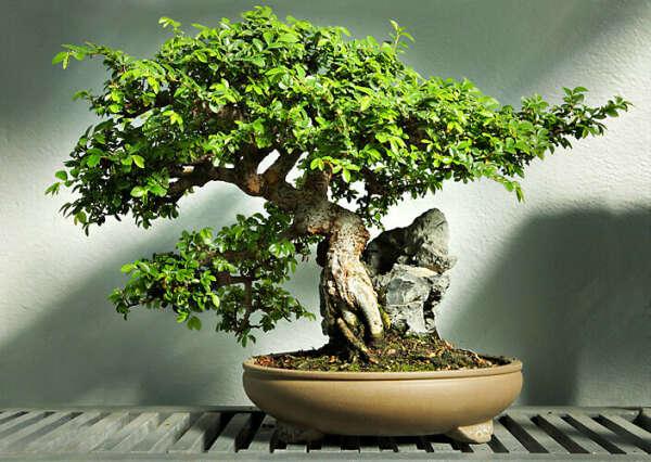 Карликовое дерево бонсаи
