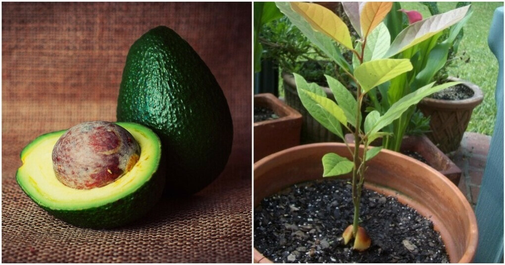 Вырастить авокадо