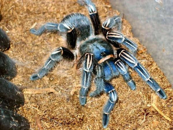 Aphonopelma seemanni blue