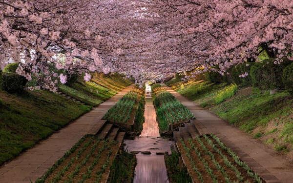 Посмотреть на цветущую сакуру в Японии