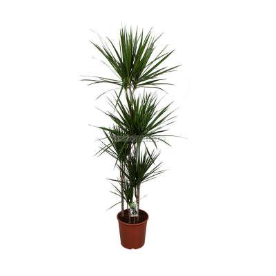 Комнатное растение Драцена Маргината пятиствольная 30 х 180 см