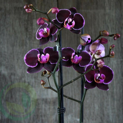 Орхидея Black Prince