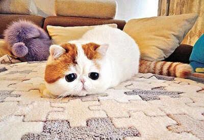 Завести кота породы экзотическая короткошерстная